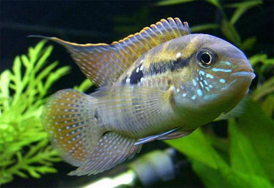 презентации про рыбу анабас