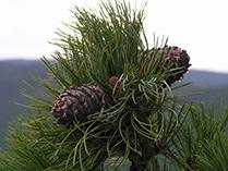 Шишки (семена) Сибирского Кедра