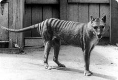 Тилацин - сумчатый волк