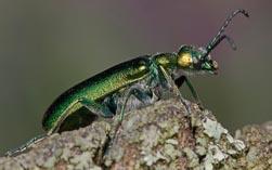 Шпанская муха