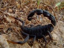 Скорпион Андроктулус