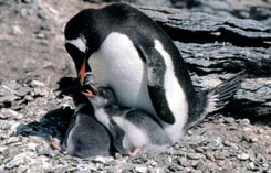 Пупуанский пингвин