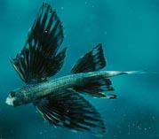 Крылатая рыба