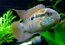 Рыба анабас ползун