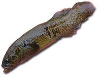 Рыба даплия