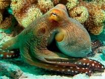 Молюск осминог