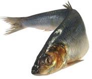Рыба сельд (селедка)