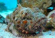 Ядовитая рыба бородовчатка