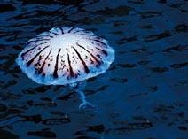 Медуза ядовитая морская оса