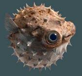 Ядовитая рыба-шар