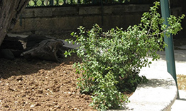 Росток от корня Мамврикийского дуба