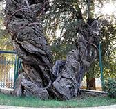 Современный вид Мамврикийского дуба
